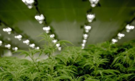 Joburg students growing high-tech cannabis receive special recognition from Government